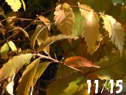 11_1125_keyaki2.jpg