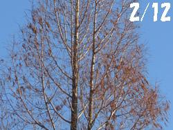 12_0217_metasequoia1.jpg