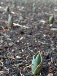 12_0305_tulip1.jpg