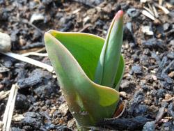 12_0305_tulip2.jpg