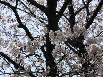 12_0415_sakura1.jpg