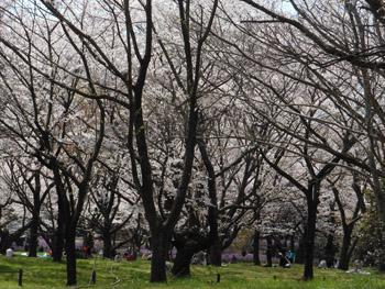 12_0417_sakura1.jpg