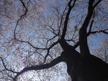 12_0417_sakura5.jpg
