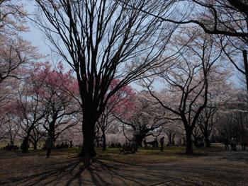 12_0417_sakura8.jpg