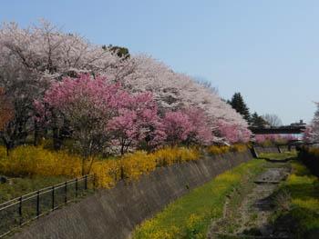 12_0420_sakurabasi2.jpg