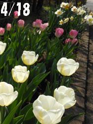 12_0423_tulip1.jpg