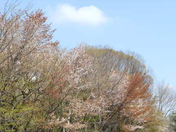 12_0424_yamazakura02.jpg