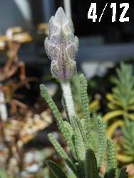12_0610_f_lavender1.jpg
