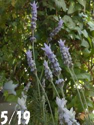 12_0610_f_lavender2.jpg