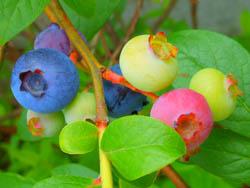 12_0622_blueberry.jpg