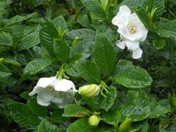 12_0714_gardenia1.jpg