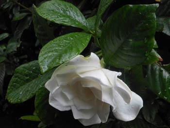 12_0714_gardenia2.jpg