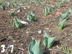 13_0313_tulip.jpg