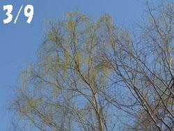 13_0316_s_yanagi1.jpg