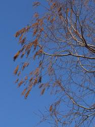 13_0322_metasequoia2.jpg