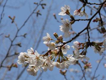13_0329_sakura2.jpg