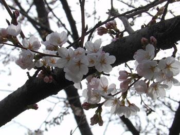 13_0329_sakura4.jpg