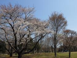 13_0409_sakura1.jpg