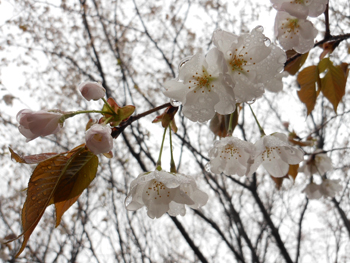 13_0411_sakura2.jpg