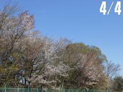 13_0415_yamazakura1.jpg