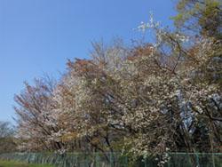 13_0415_yamazakura8.jpg