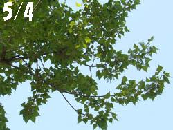 13_0519_k_poplar1.jpg