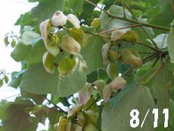 13_0820_aogiri1.jpg