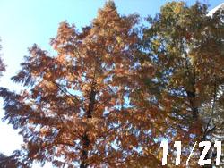 13_1208_metasequoia1.jpg