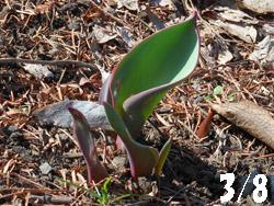 14_0311_tulip.jpg