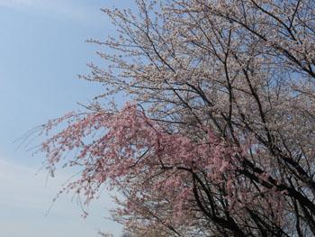 14_0411_sakura05.jpg