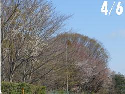 14_0417_y_zakura01.jpg