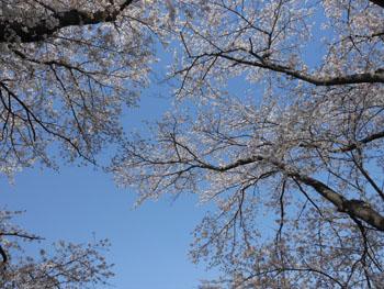 14_0430_sakura2.jpg