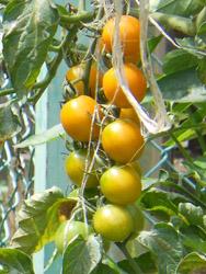 14_0726_m_tomato.jpg